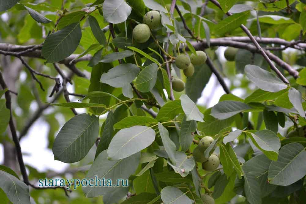Грецкий орех. Фото (303) Ю. Зотов, 2013