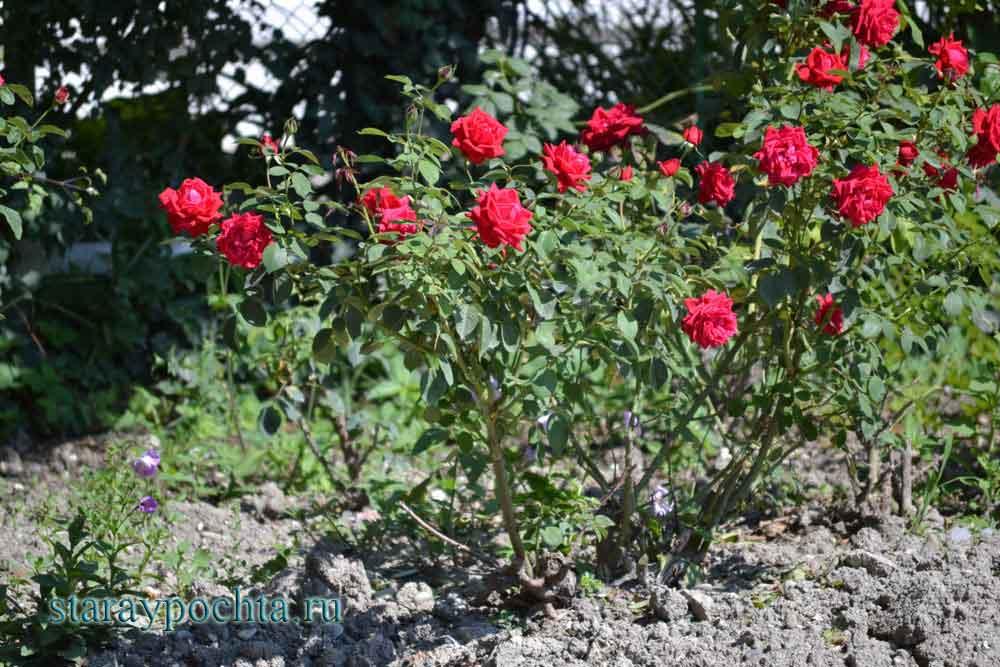 Розы. Фото (379) Ю. Зотов, 2013