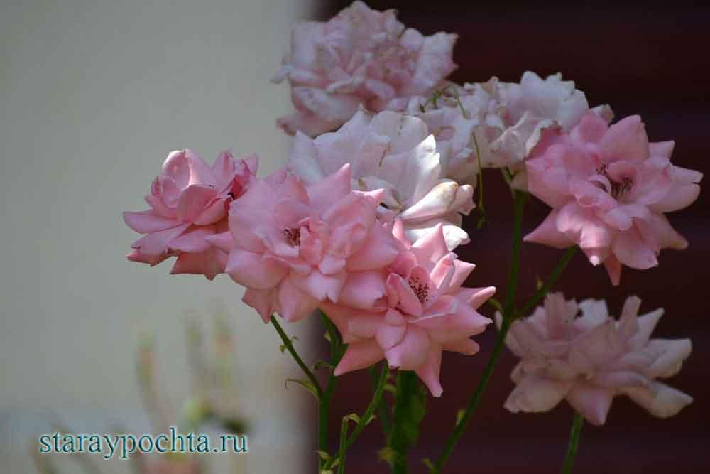 Розы. Фото (422) Ю. Зотов, 2013
